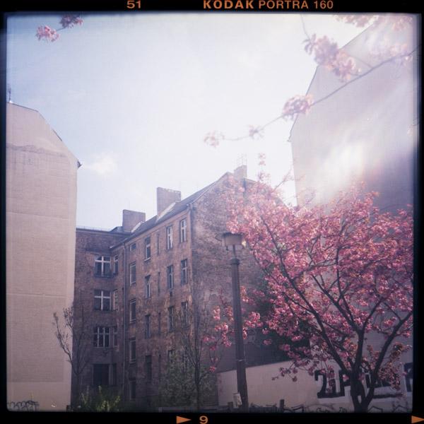 berlin, prenzlauerberg, kirschblüten